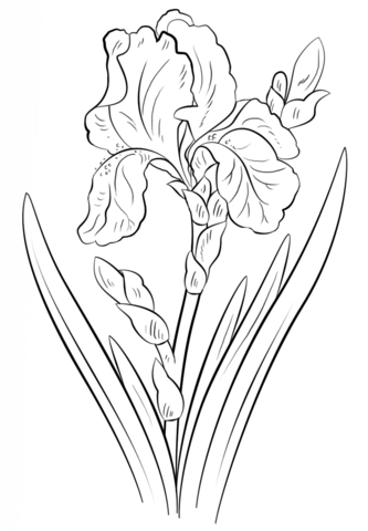 333x480 Blue Iris Coloring Page From Iris Category. Select From 20946