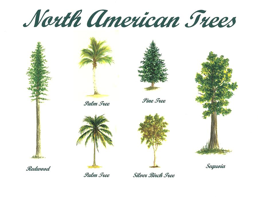 900x696 Pine Tree Line Drawings Best Sketches Images On Drawing Trees For