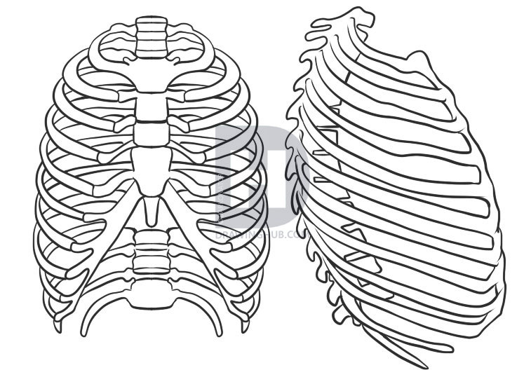 757x538 How To Draw A Rib Cage, Step By Step, Drawing Guide, By Darkonator