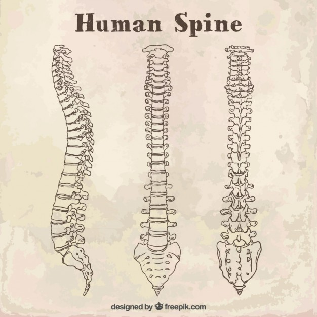626x626 Sketches Human Spine Vector Free Download