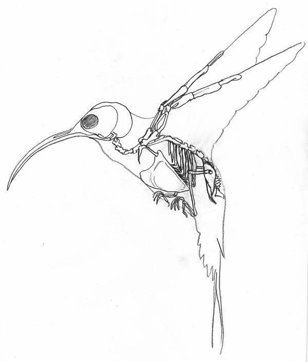 600x704 Humming Bird Skeleton
