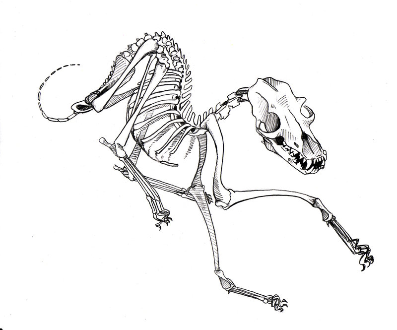 800x665 Collection Of Dog Skeleton Drawing High Quality, Free