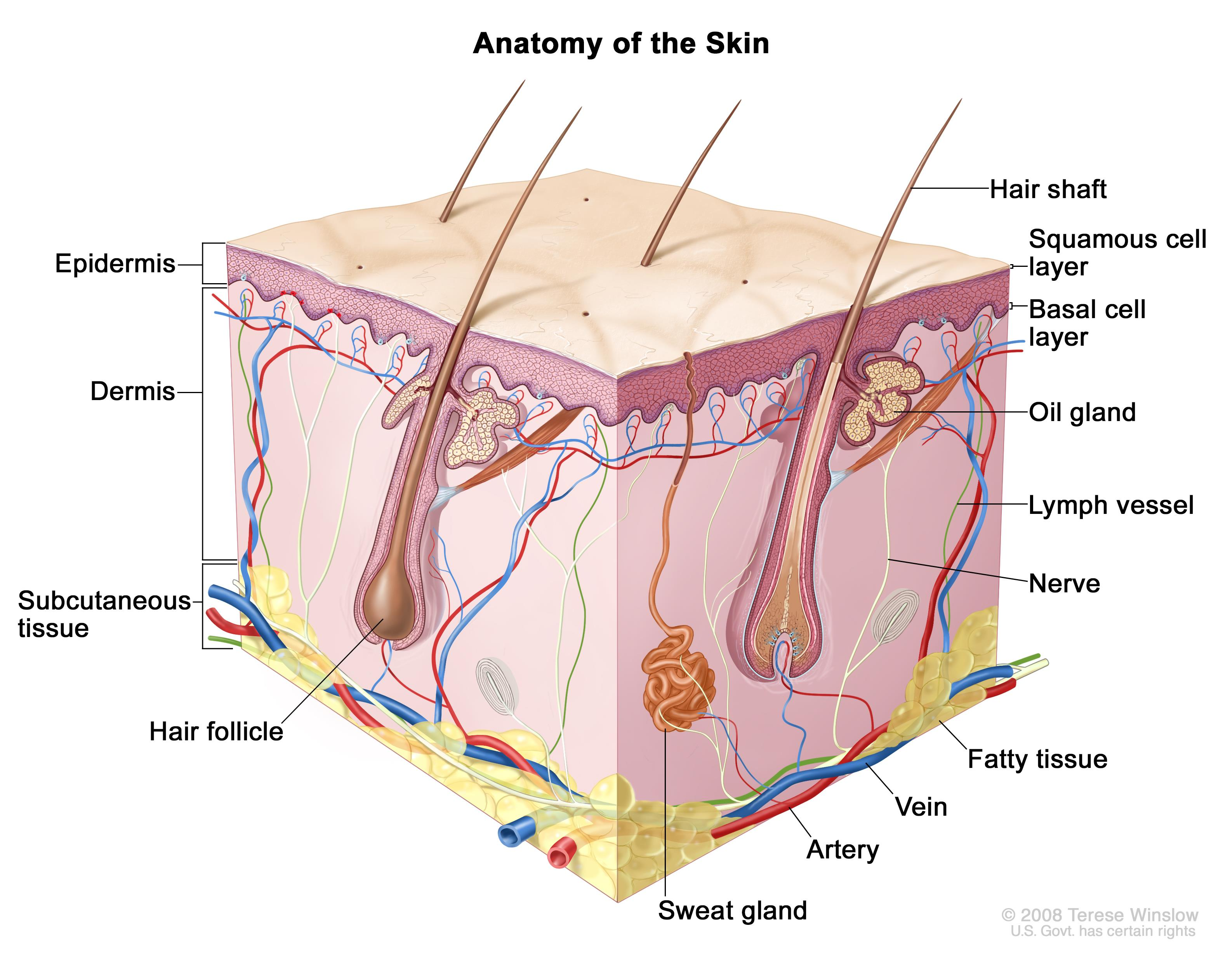 Skin Drawing at GetDrawings.com | Free for personal use Skin Drawing ...