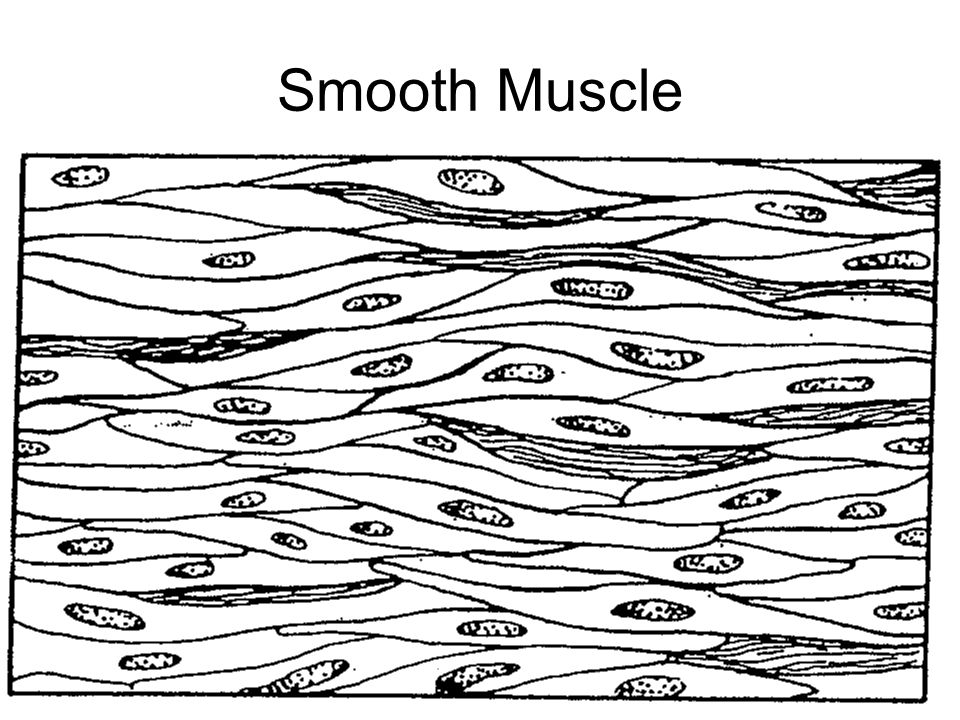 Smooth Muscle Drawing