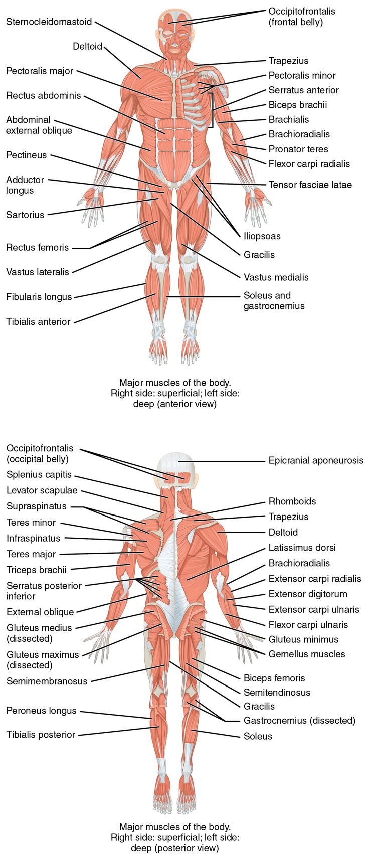 736x1711 Labelled Diagram Of Smooth Muscle Diagram Of Smooth Muscle Draw