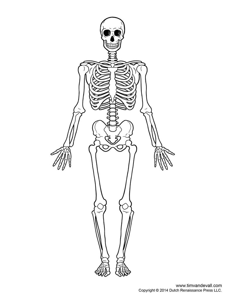 791x1024 Skeletal System Drawing Skelet
