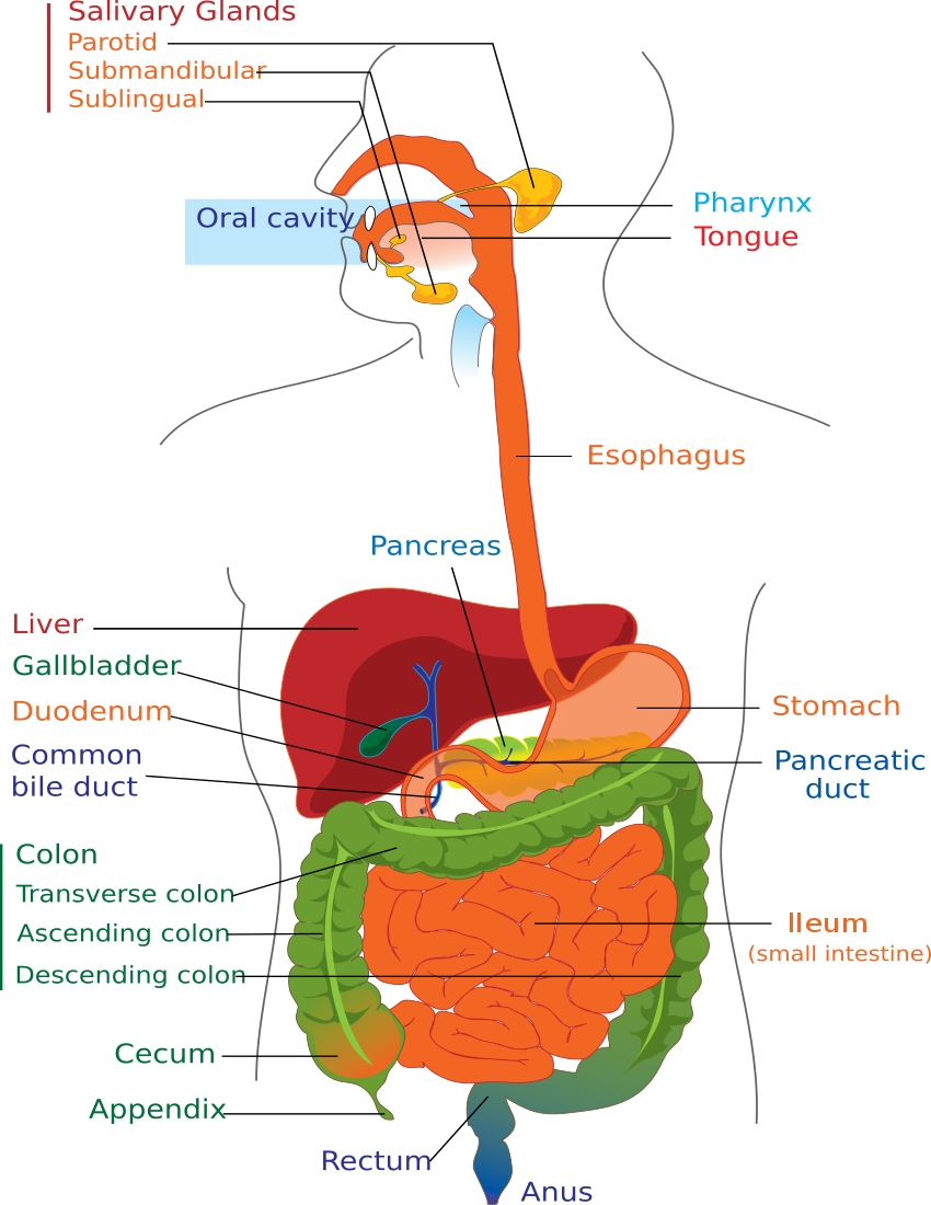 850x1100 Digestive System Drawing With Color