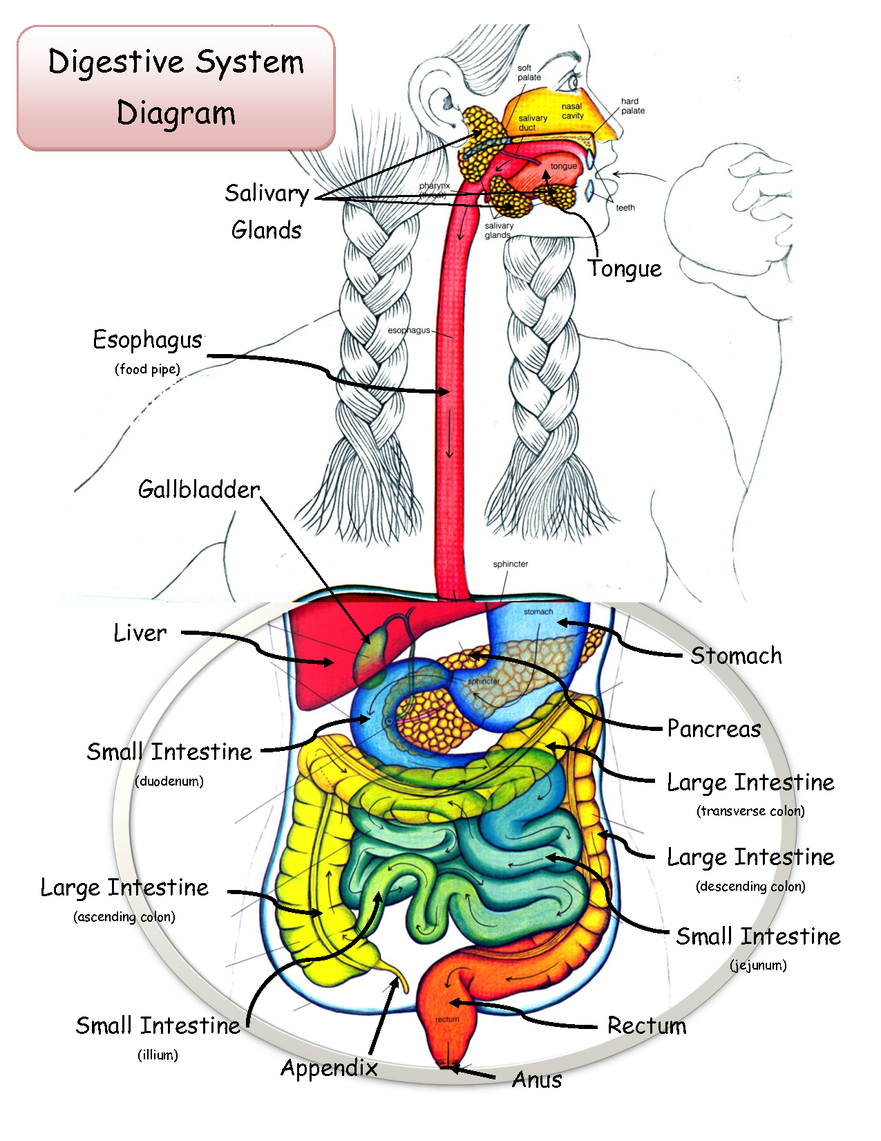 1275x1650 Draw Anatomy Of A Digestive Sysyem The Digestive System Drawing