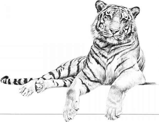 Tiger Pencil Drawing Images
