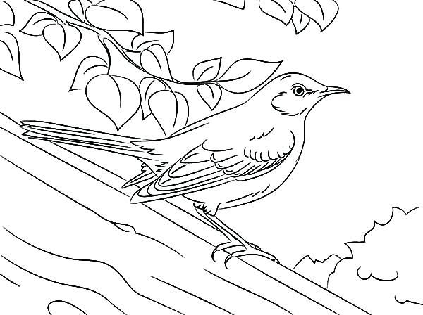 600x448 Mockingbird Coloring Page Drawing Northern Mockingbird Coloring