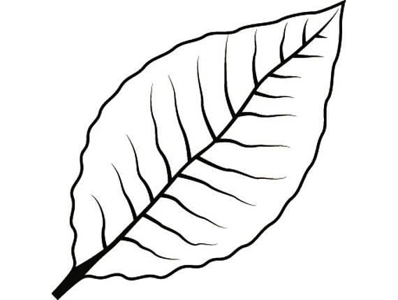 570x429 Tobacco Leaf 2 Smoker Cigar Smoking Smoke Burning Smoke Blunt