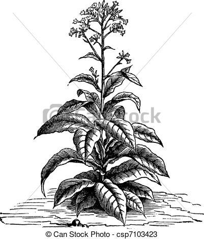 401x470 Tobacco (Nicotiana Tabacum), Vintage Engraving. Tobacco (Nicotiana