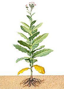 217x300 Whole Tobacco Leaves By The Pound, Buy Tobacco Leaf, Bulk Tobacco