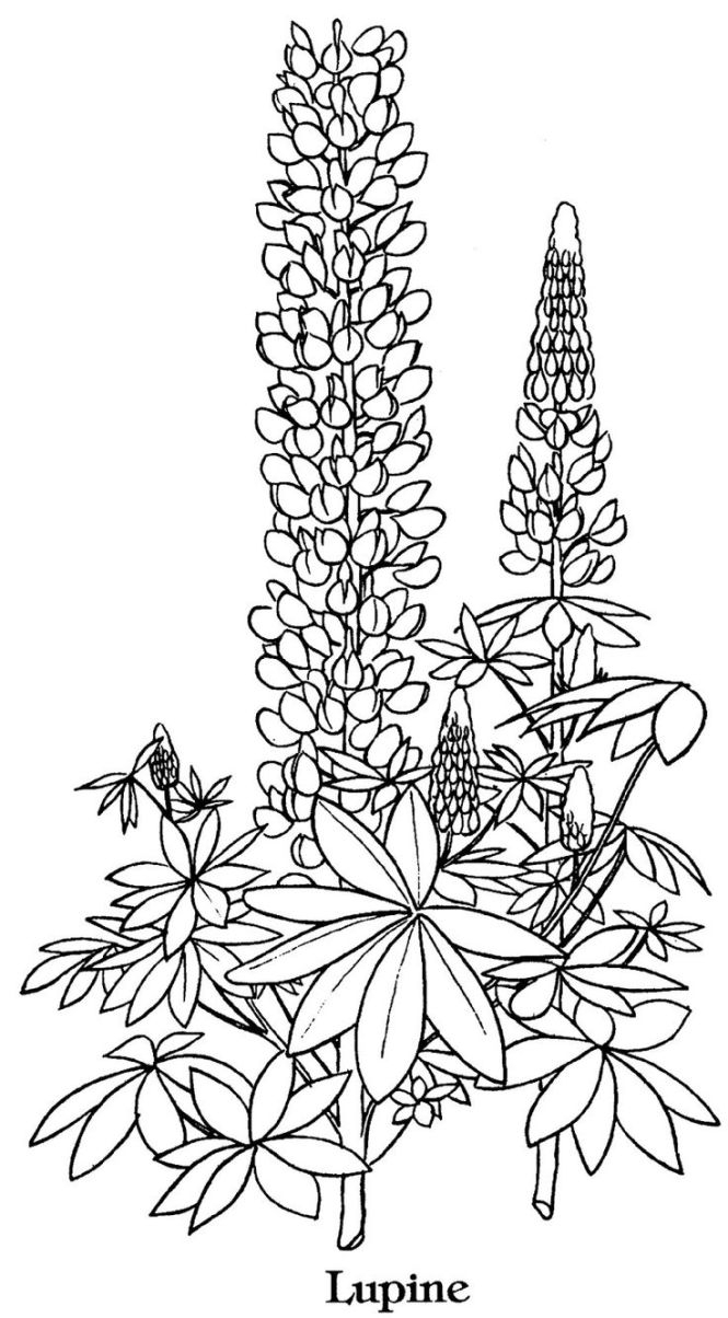 665x1204 The Truth About Bluebonnet Coloring Page Flower Drawi
