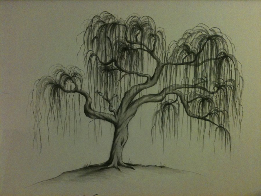 Willow Tree Line Drawing At Getdrawings Com Free For Personal Use