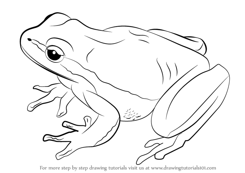 800x565 Learn How To Draw A Lemon Yellow Tree Frog (Amphibians) Step By