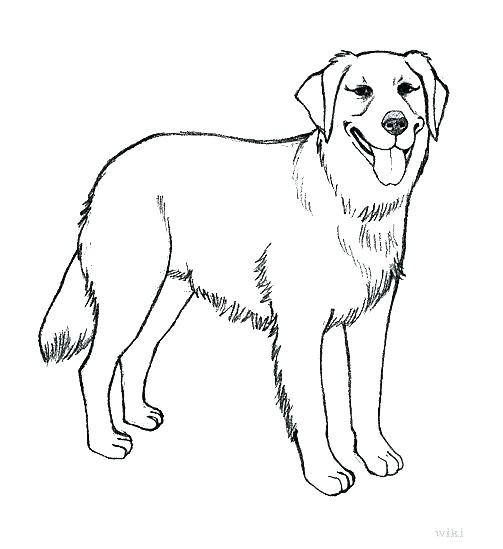 503x549 Yellow Lab Puppy Coloring Pages In Chocolate