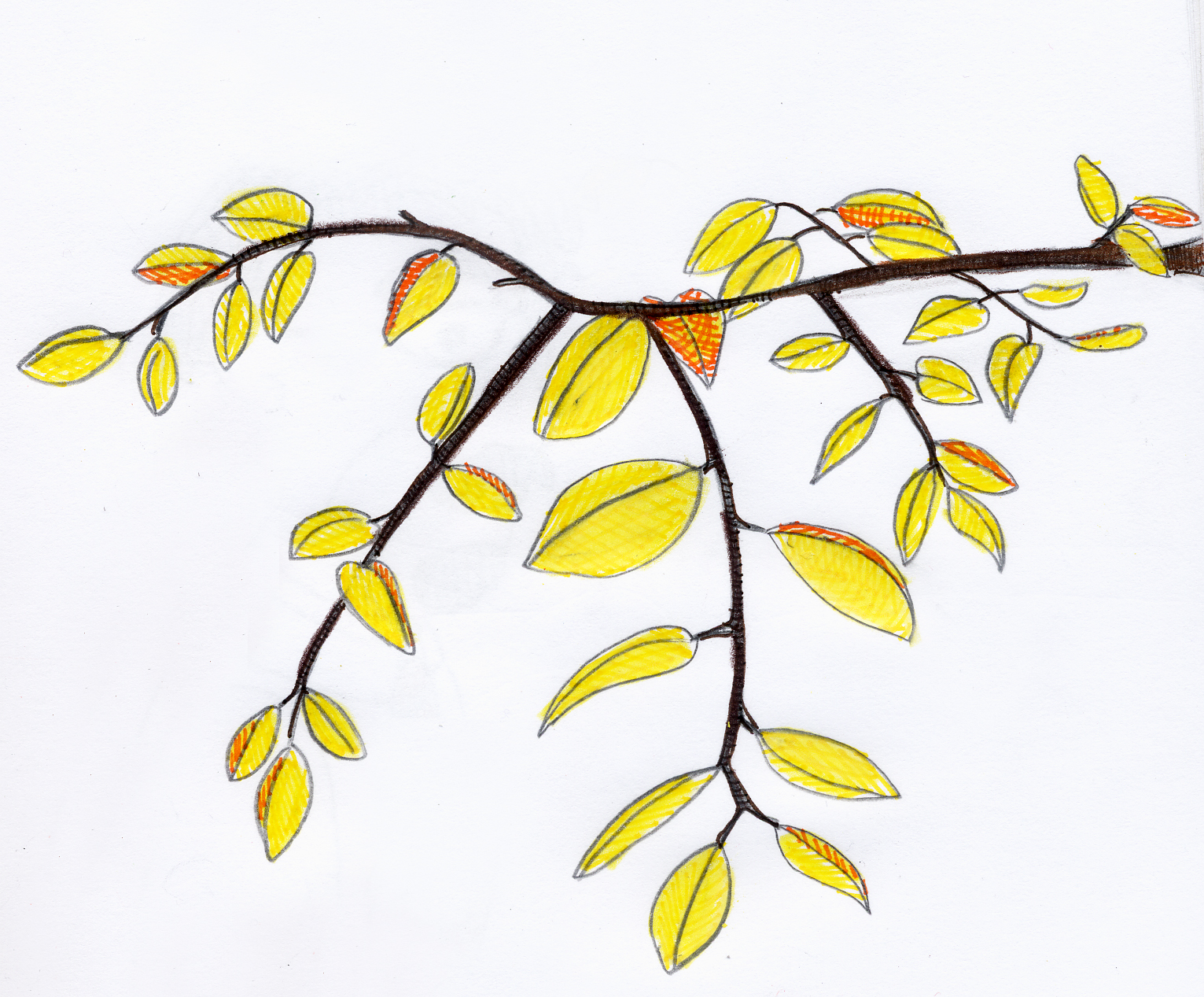 1531x1267 Yellow Leaves On A Branch Art Of My Mind
