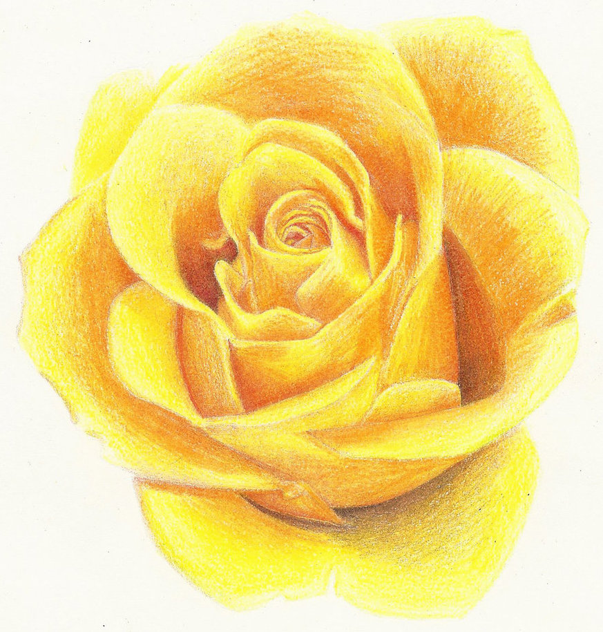 873x915 Yellow Rose By Rollingboxes