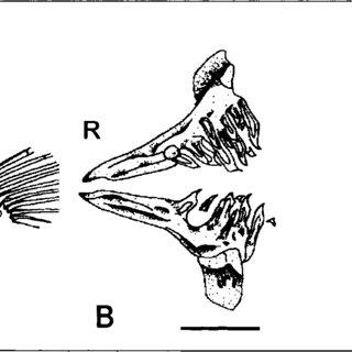 Zebrafish Drawing