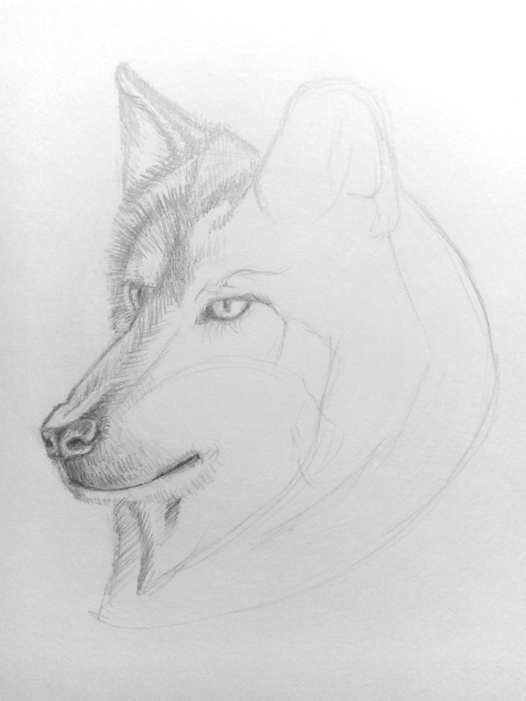 how to draw a wolf step by step with pencil