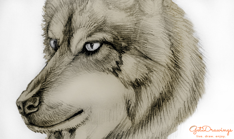 How to draw a Wolf?