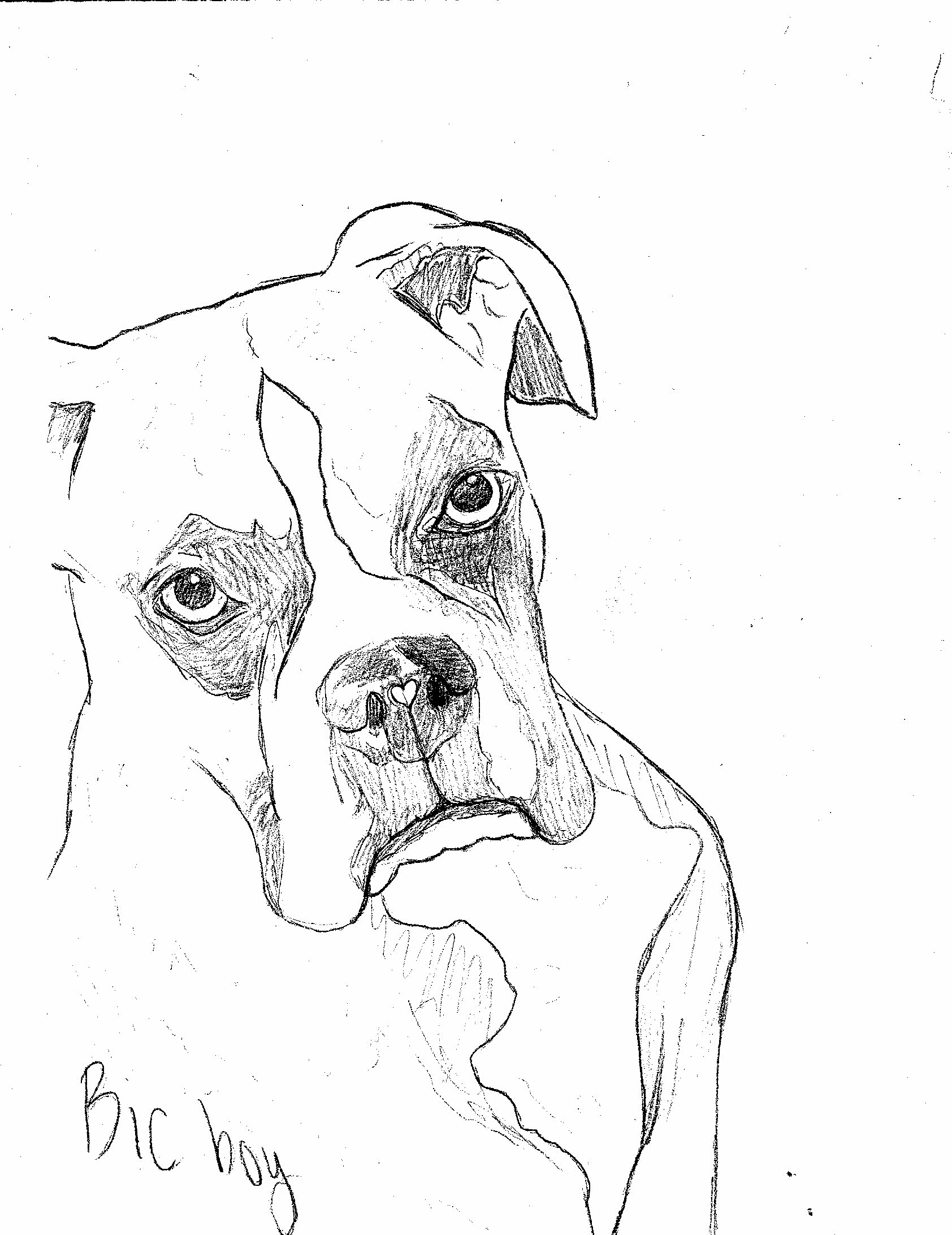 Boxer Dog Sketch
