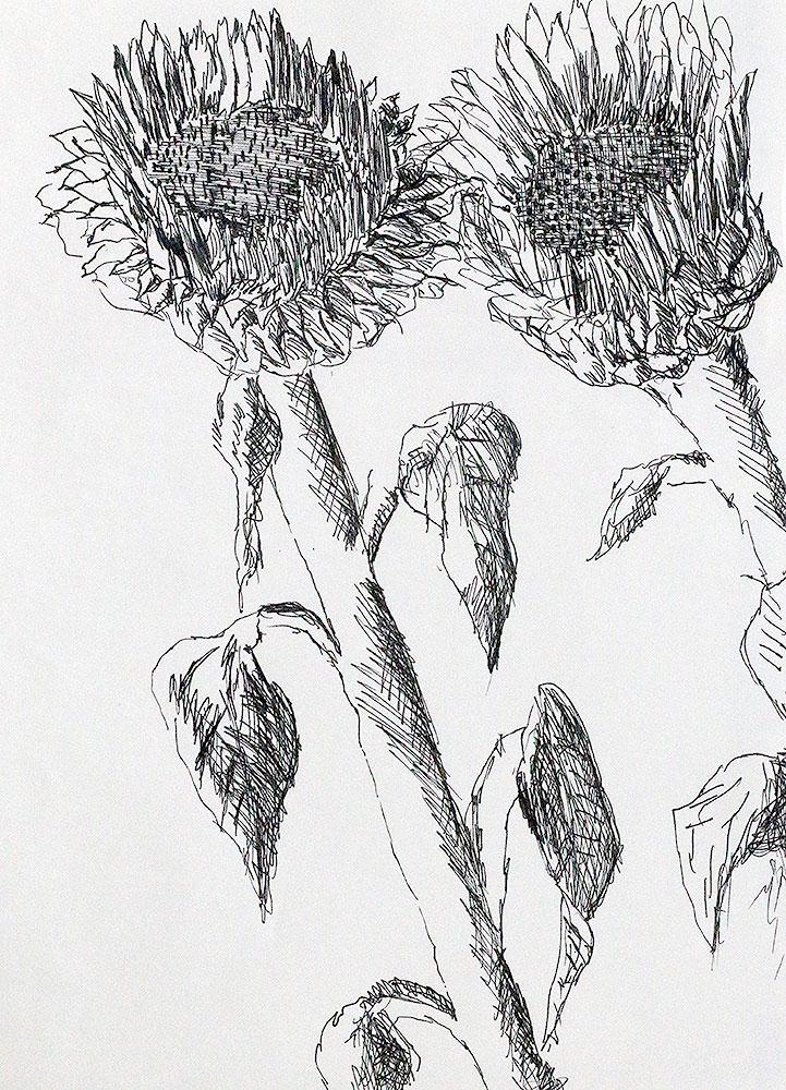 Sunflowers Drawings Raphael Perez