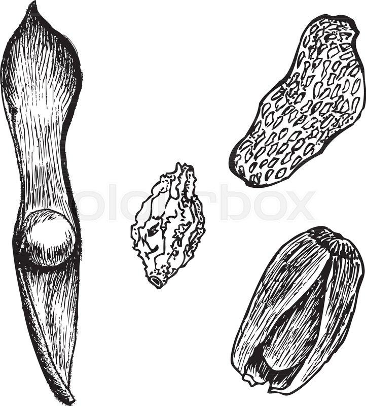 722x800 Bean, Nut Fruit, Berry, Acorn Vector Illustration On White Stock