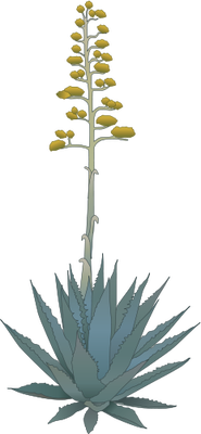 185x400 Agave Spp. (Agave) With Stalk Illustration Of Agave Spp. (Agave