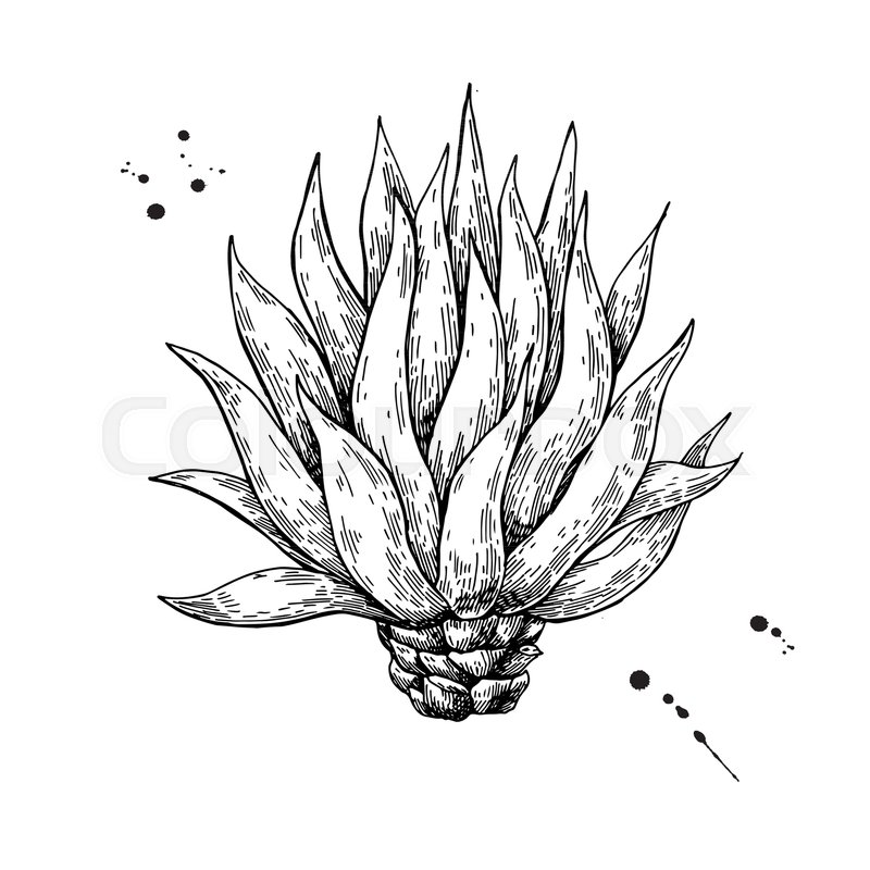 800x800 Blue Agave. Tequila Ingredient Vector Drawing. Engraving