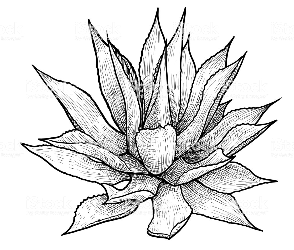 1024x870 Collection Of Agave Line Drawing High Quality, Free Cliparts