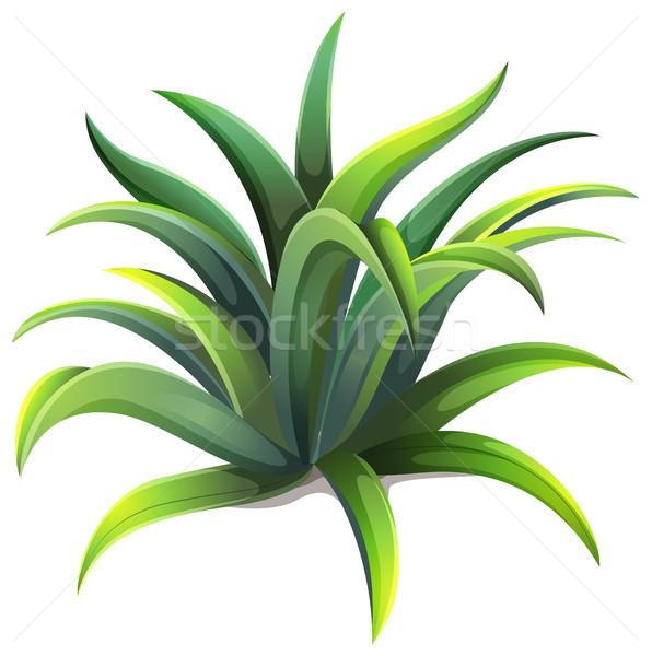 596x600 A Dwarf Agave Plant Vector Illustration Daniel Cole (Bluering