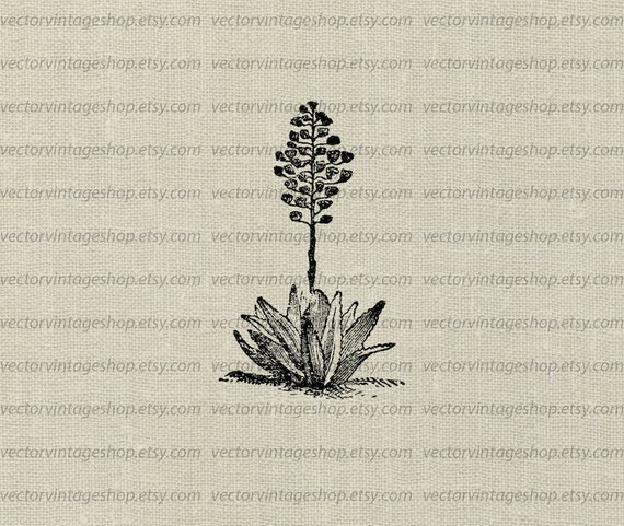 570x481 Agave Plant Vector Clipart Download Aloe Herb Flower Blossoms Etsy