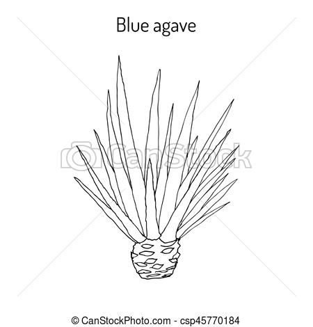 450x470 Blue Agave Agave Tequilana . Hand Drawn Botanical Vector Illustration.