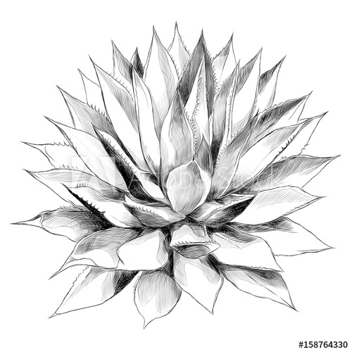 500x500 Bush Agave Of Red Top View Sketch Vector Graphics Black And White