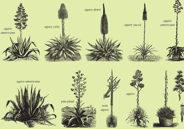 632x443 Agave And Maguey Drawings Free Vector Download 369115 Cannypic