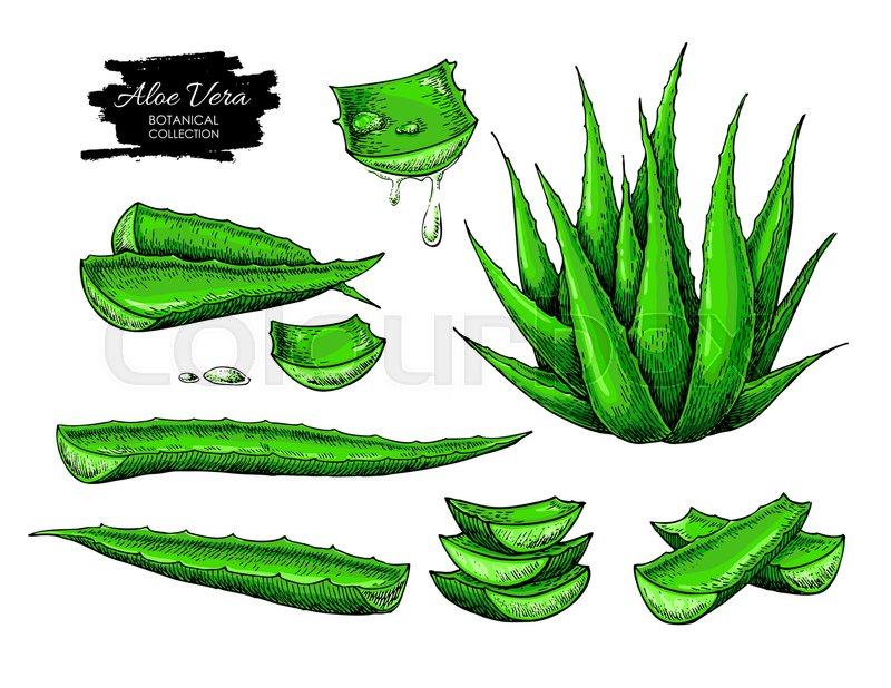 800x618 Aloe Vera Vector Illustration Set. Hand Drawn Artistic Isolated