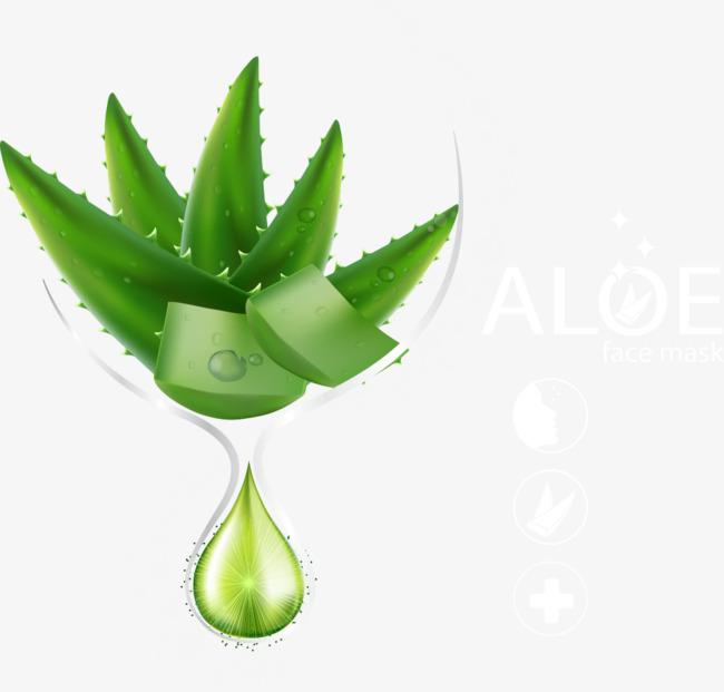 650x621 Vector Aloe Vera, Aloe Vera, Aloe, Essential Oils Png And Vector