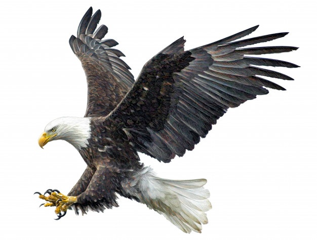 626x475 American Eagle Vectors, Photos And Psd Files Free Download