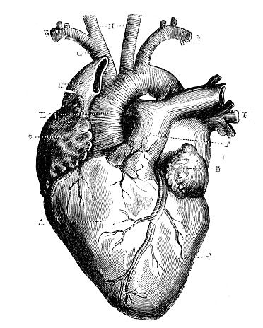 372x464 Antique Medical Scientific Illustration High Resolution Heart