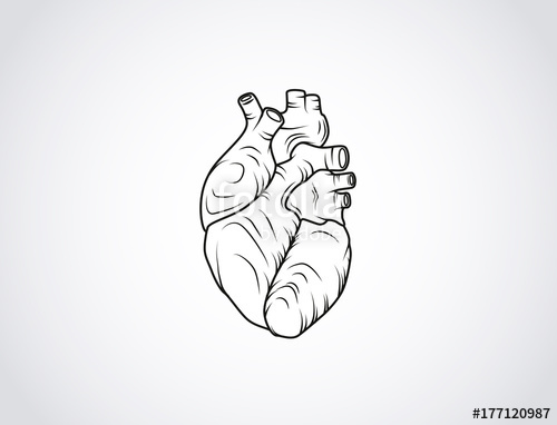 500x382 Human Heart Sketch. Anatomical Heart Illustration Isolated