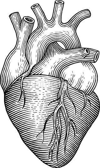 320x536 Vector Art Human Heart Reference Images Human