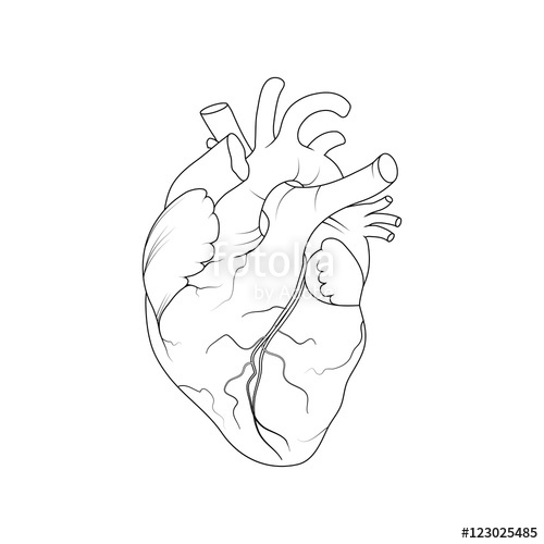 500x500 Anatomical Human Heart.realistic Vector Illustration Stock Image