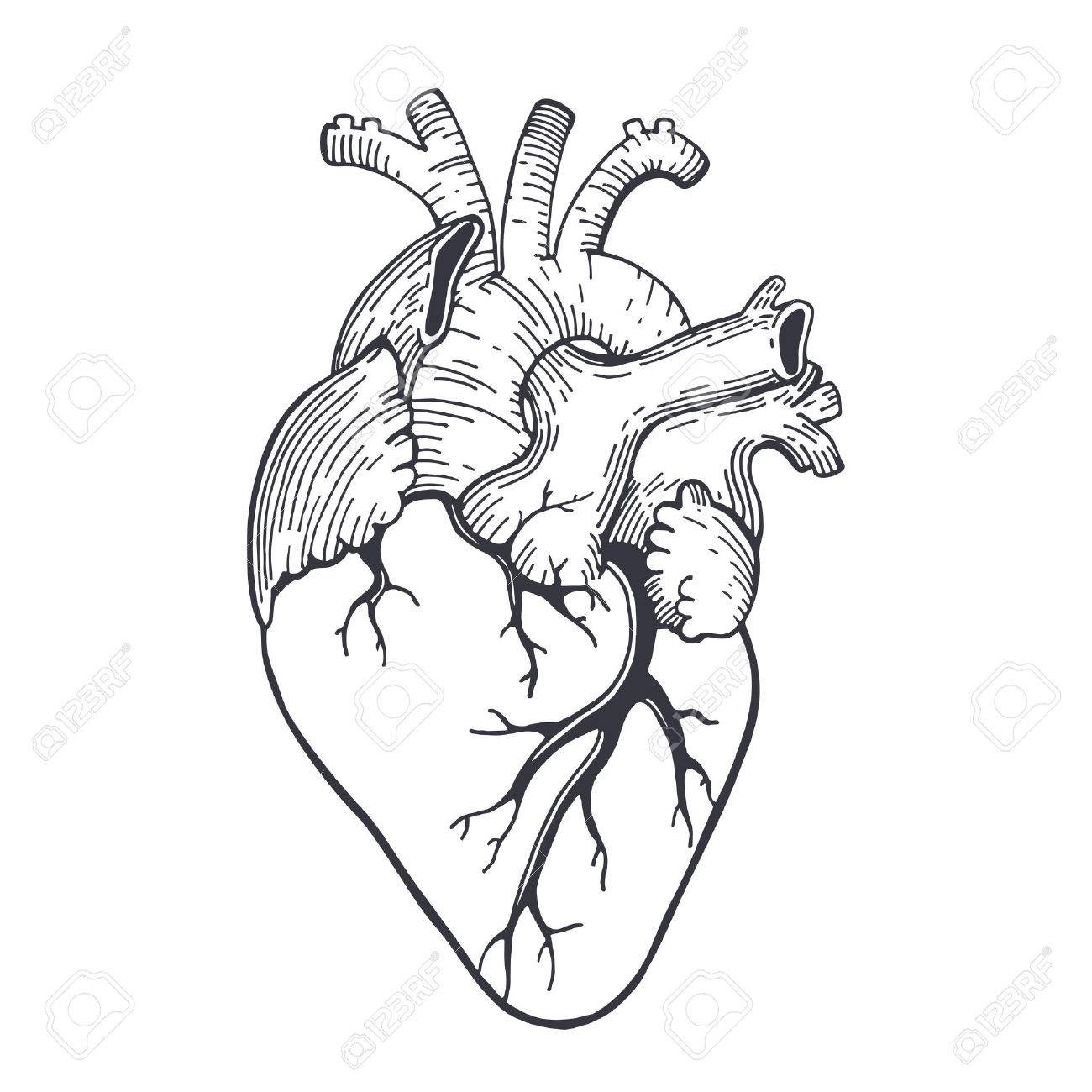 Anatomy Heart Vector