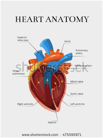 350x470 Anatomy Illustration Marvelous Anatomy Heart Stock Vector