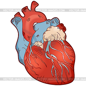 300x300 Anatomy Human Heart
