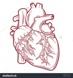 236x251 7 Best Anatomical Heart. Images Anatomical Heart