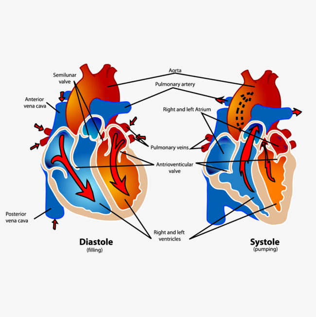 650x651 Heart Anatomy Diagram, Heart Vector, Heart, Dissection Png And