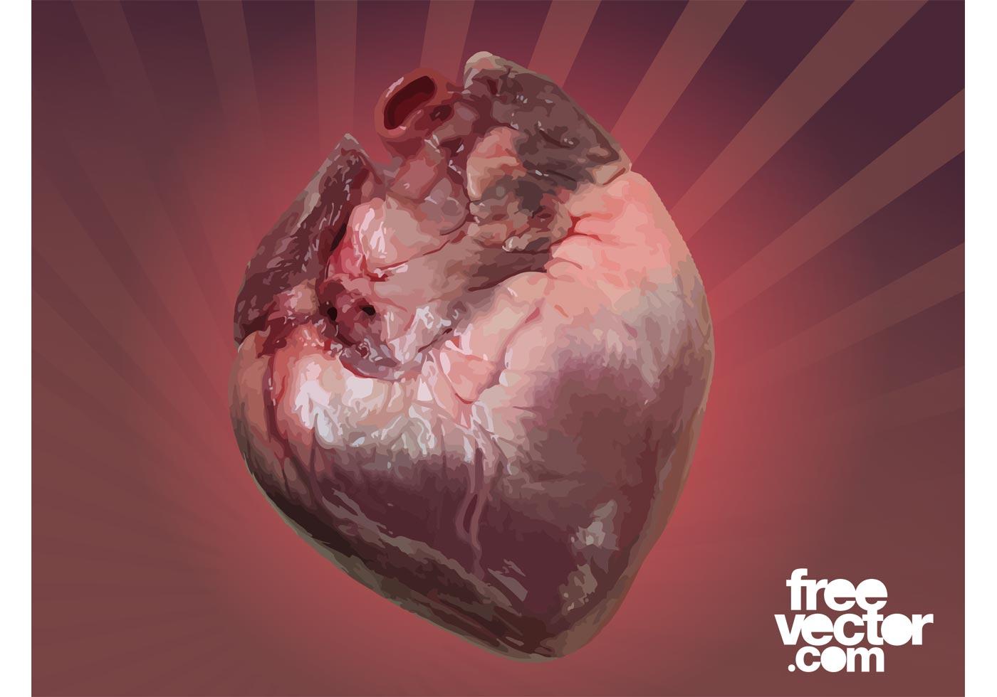 1400x980 Human Heart Free Vector Art